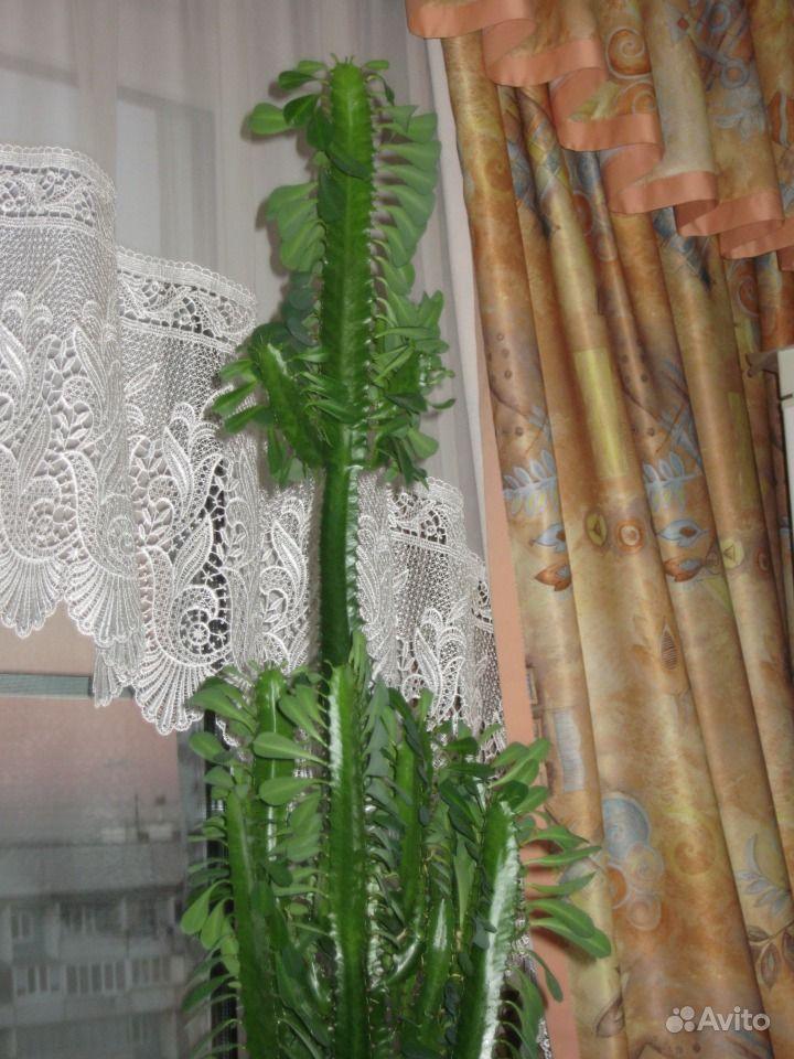 кактус эуфорбия