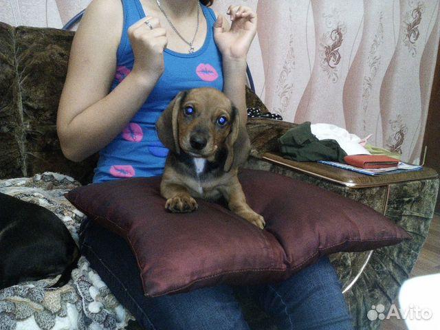 Купить собаку или щенка недорого в Тайшете, Щенки из