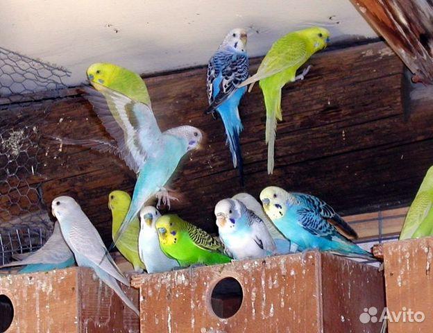 Попугаи - купить, продать или отдать в Воронежской области на Avito - Объявления на сайте Avito