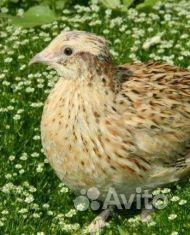 Перепела, Цыплята, Яйцо купить на Зозу.ру - фотография № 1