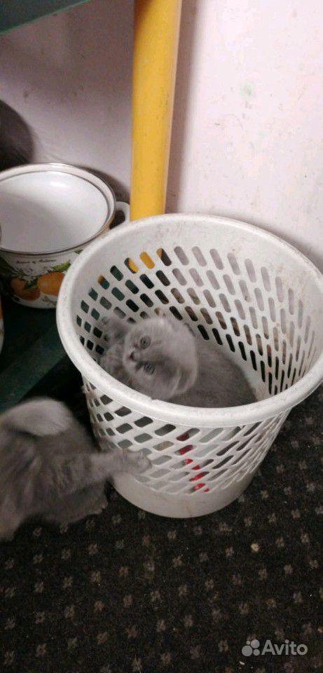 Британские котята в Краснодаре - фотография № 8