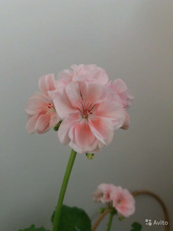 Герань розовая купить на Зозу.ру - фотография № 1
