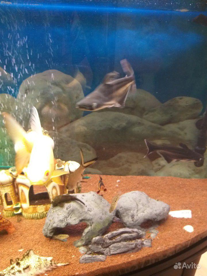 Рыба пангасиус /акулий сом купить на Зозу.ру - фотография № 4
