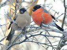 Продам лесных певчих птиц