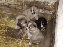 Щенки Восточно-Сибирской Лайки — Собаки в Усолье-Сибирском