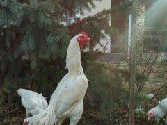 Бойцовая птица цыплята
