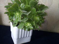 Комнатное растение Эониум