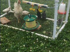 Цыплята с курицей (клушей) и вольер