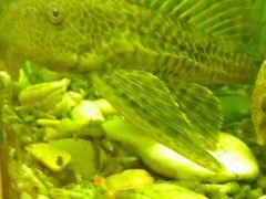 Рыбка сомик анциструс