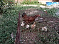 Курица и 7 цыплят