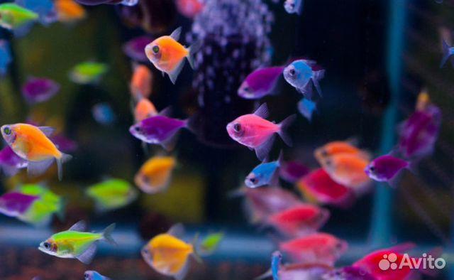 тернеция аквариумные рыбки фото