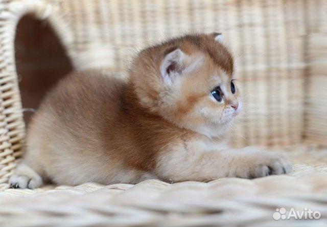 котята золотая шиншилла купить