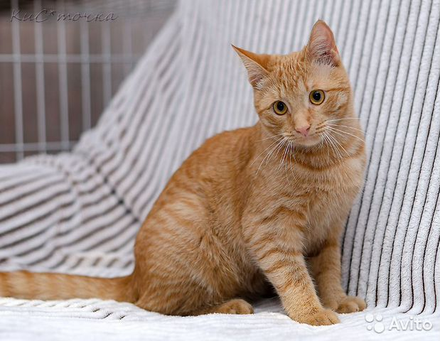 89137249811  Рыжий и веселый кот Фокс