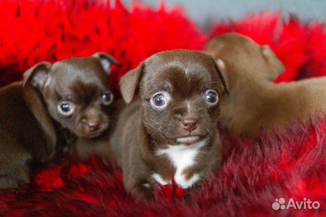 Гладкошёрстные щенки чихуахуа купить на Зозу.ру - фотография № 3