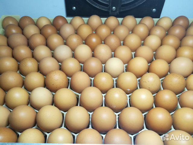 Инкубационное яйцо несушки 89272826336 купить 3