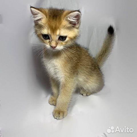 Кошка  89064224049 купить 5