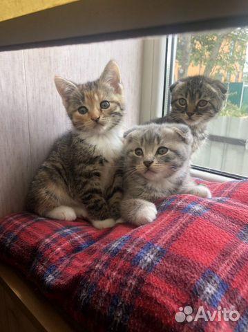 Вислоухие котята  89105471513 купить 3