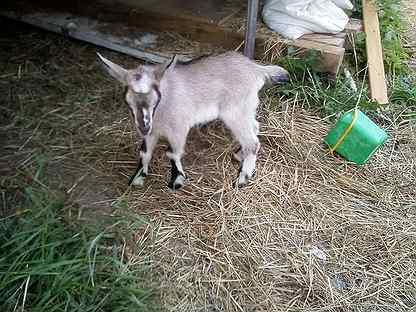 Зааненские козы дойные