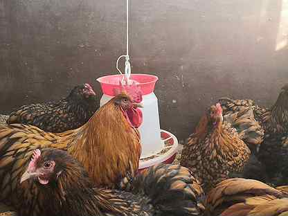 Инк. яйцо и цыплята породистых кур