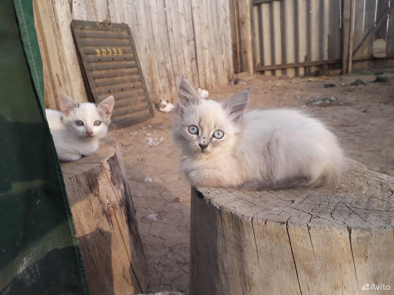 Котята  89325401590 купить 1