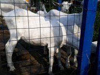 Коза зааненская