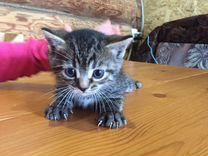 Котёнок от шотландской вислоухой кошки