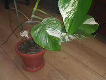 Монстера вариегатная — Растения в Рязани