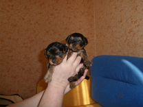 Милые щеночки йорики