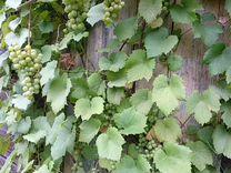 Саженцы винограда сорт