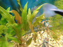 Криптокорина аквариумное растение