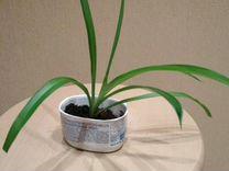 Хлорофитум капский зелёный - домашний эколог