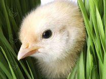 Цыплята бройлеров вывод 27.04 cobb 500