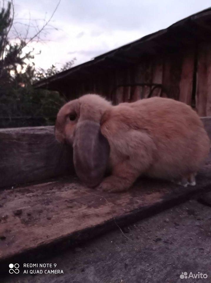 Кролик  89137405868 купить 3