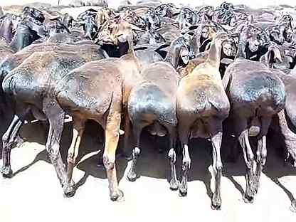 Курдючные Бараны, овцы ягнята
