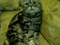 Шотландский кот Ричард ждёт на вязку)